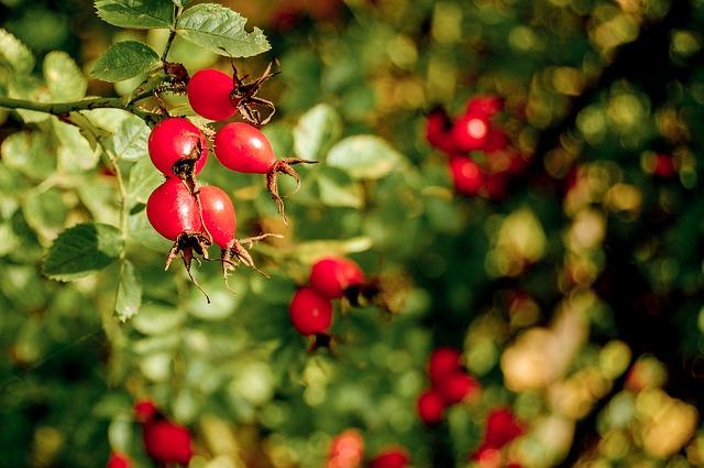 Uprawa róż na owoc